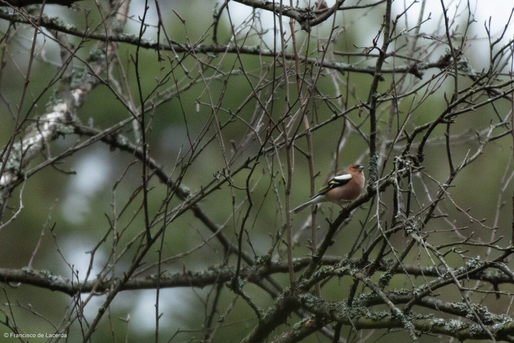 En Bofink ((Fringilla coelebs) sitter på en gren och sjunger en molnig morgon i Kragstalunds skog.